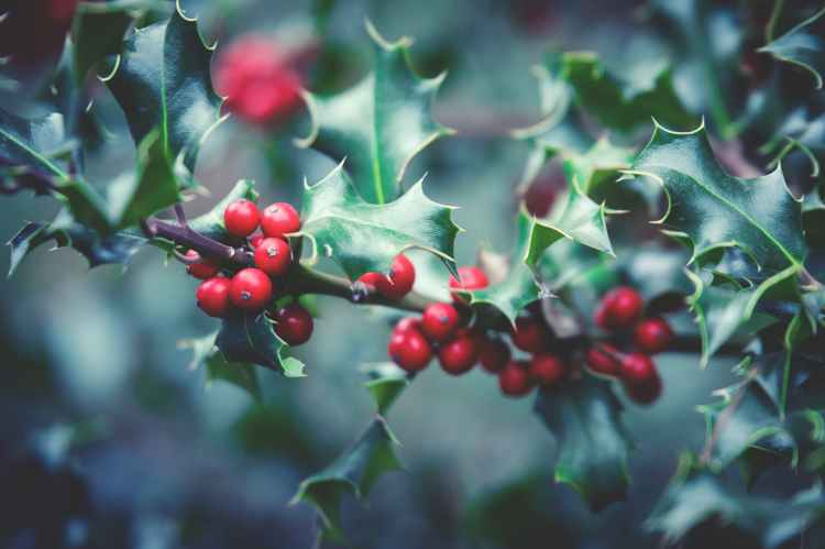 red berry plant